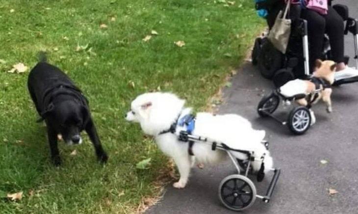 Mulher e seus três cães se deslocam em cadeira de rodas