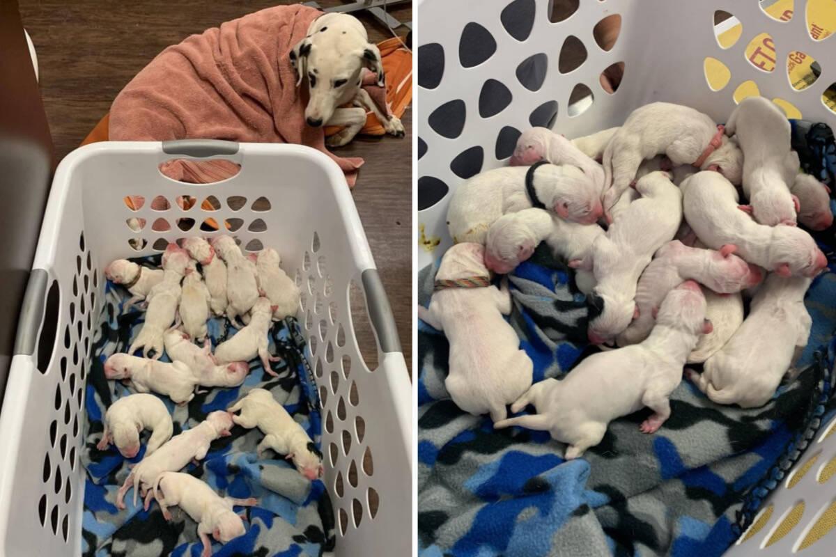 Cadela dálmata dá à luz 16 filhotes; todos passam bem