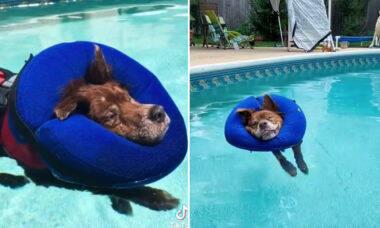 Vídeo fofo: cão idoso flutua com colete e tira uma soneca dentro de piscina
