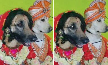 Vídeo com casal de cães vestidos de noivos indianos quebra a internet