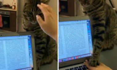 'Dinheiro para a ração': vídeo mostra gato que dispensa carinho e força dona a trabalhar