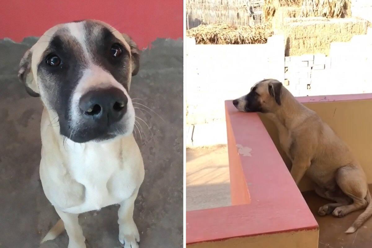 Comovente: cão com síndrome de ansiedade passa o dia esperando a volta do dono