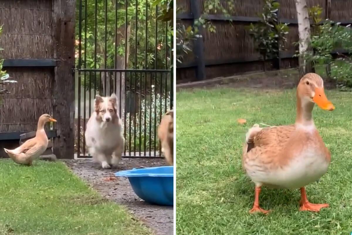 Vídeo hilário: pato pensa que é um cão, e a matilha parece concordar