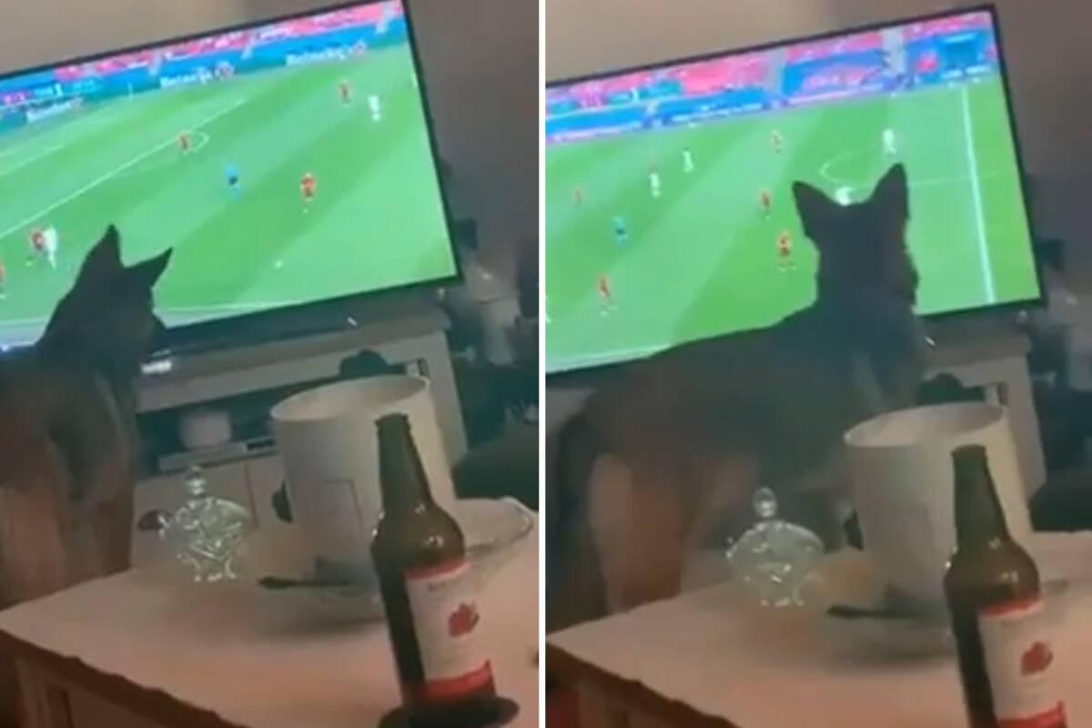 Vídeo: pastor alemão trai país de origem e torce pela Inglaterra na Eurocopa