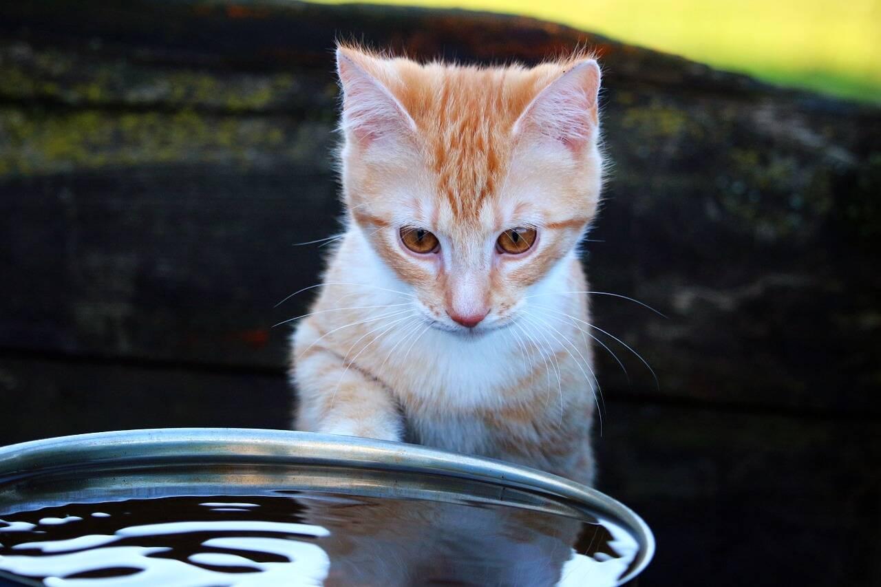 Os gatos detestam mesmo água? Veja o que a ciência tem a dizer
