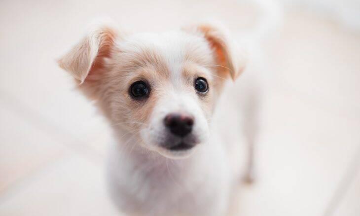 Cães já nascem em sintonia com as emoções e movimentos humanos, indica estudo