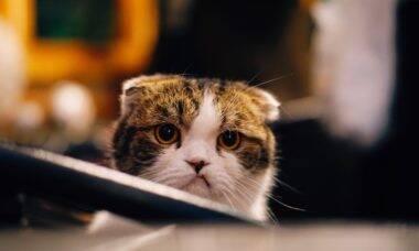 Aplicativo promete diagnosticar quando o seu gato está feliz ou não