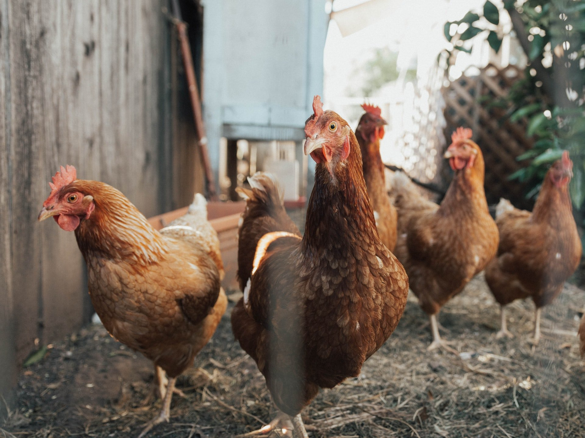 Ingratidão: pessoas adotaram galinhas na pandemia e agora estão se livrando delas