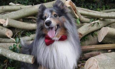 As 10 raças de cães mais inteligentes, de acordo com a ciência
