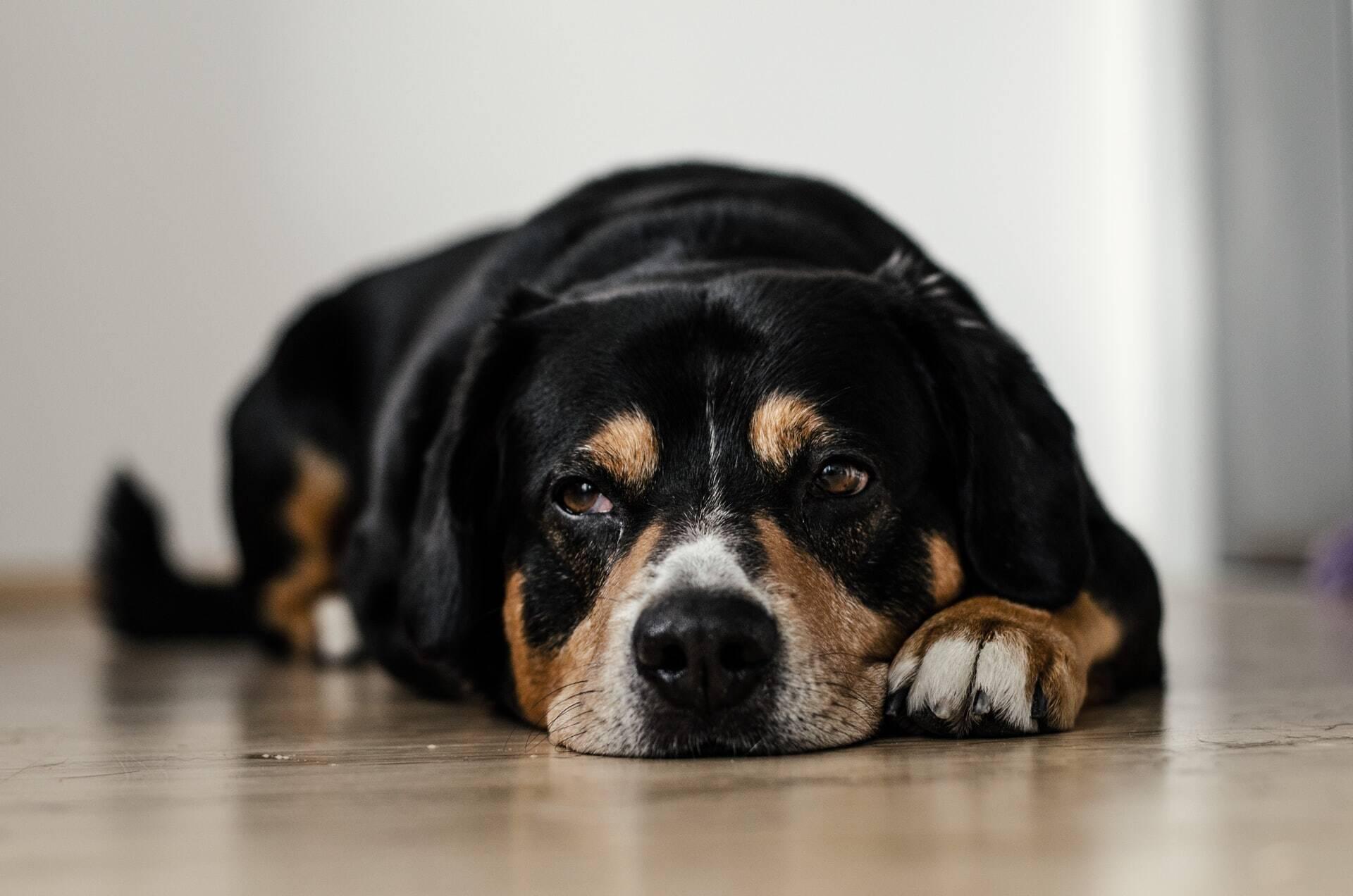 Saiba o que fazer se o seu cão estiver com a tosse dos canis