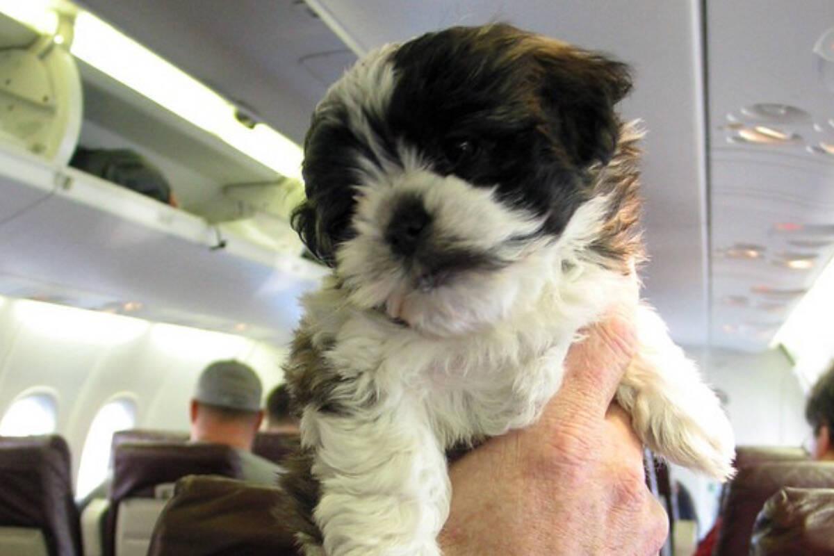 Azul passa a acolher pets em seus voos internacionais