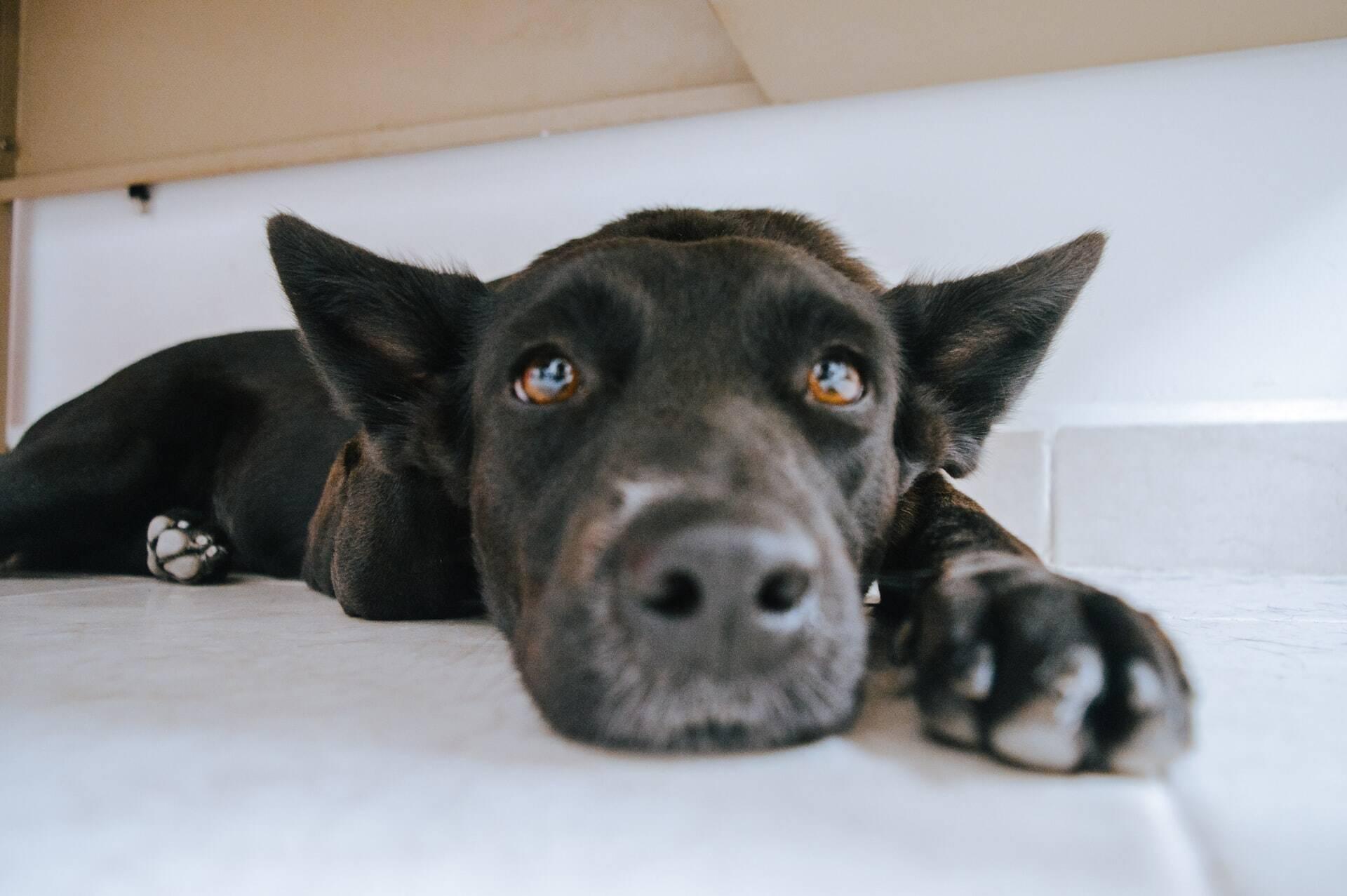 Cães morrem após lutar com cobra por duas horas, mas salvam a vida dos donos
