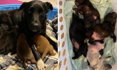 Emocionante: cadela perde toda a ninhada e 'adota' 10 filhotes órfãos em abrigo