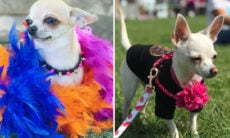 Fotos: concurso de moda reúne 800 chihuahuas com suas melhores roupas