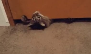 Vídeo incrível: como se fosse um envelope, gato passa por baixo de porta