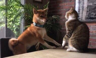 Vídeo hilário: cão tenta brincar com gato mal humorado e despenca da cadeira