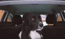 Seu cão fica ansioso com o tráfego na rua? Saiba como acalmá-lo