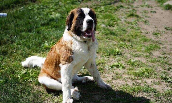 Pesos pesados: confira as 10 raças de cães mais fortes