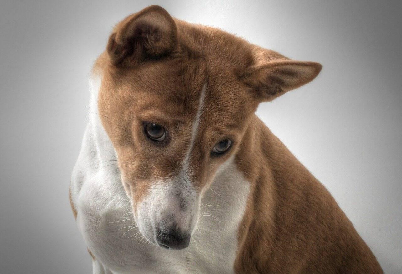 Conheça as 9 raças de cães mais raras do mundo