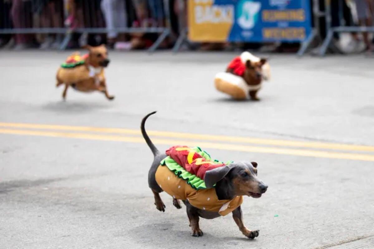 Fantasiados de hot dog, 100 cães disputam corrida e abrem a Oktoberfest nos EUA
