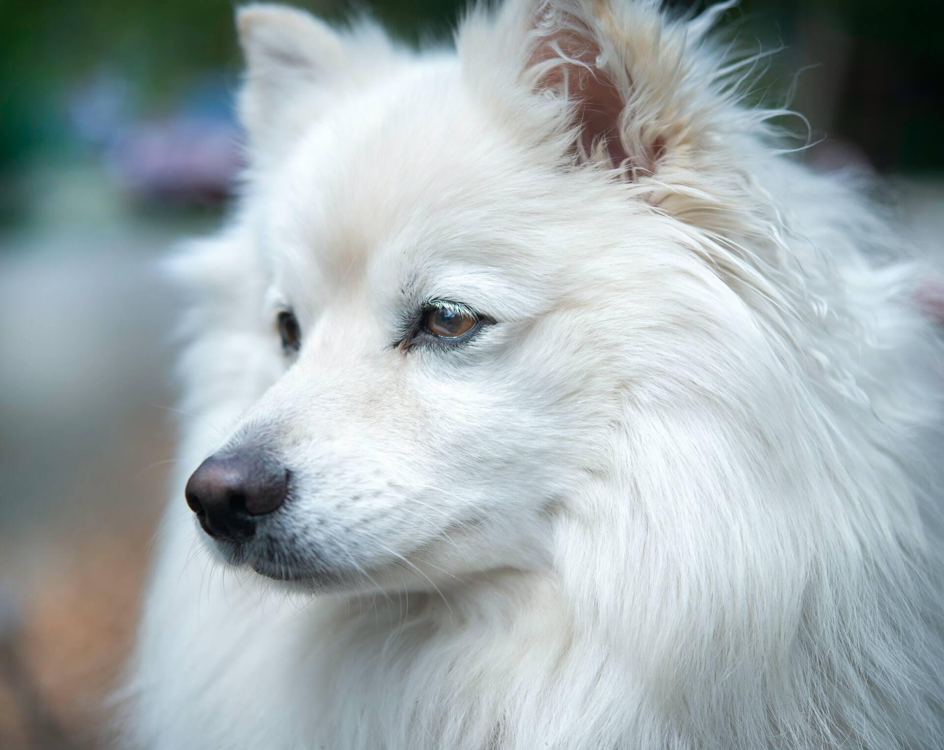 Confira as 10 raças de cães mais caras do mundo