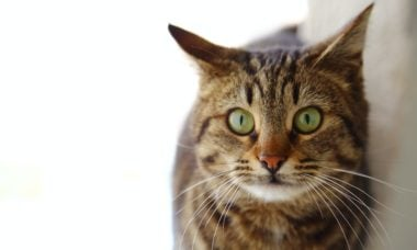Cientistas revelam como os gatos malhados ganham as listras na pelagem