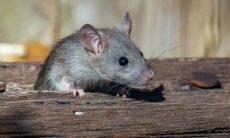 Restos de ração dos pets atraem convidados indesejáveis: ratos