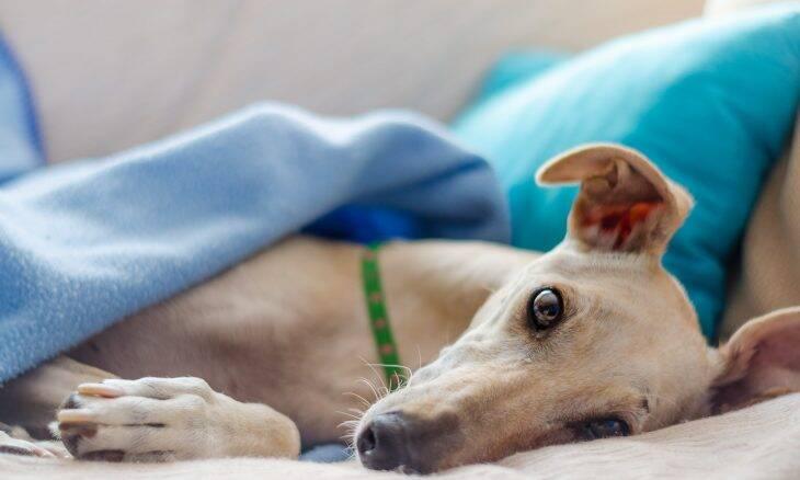 Só querem carinho: as 10 raças de cães mais afetuosas