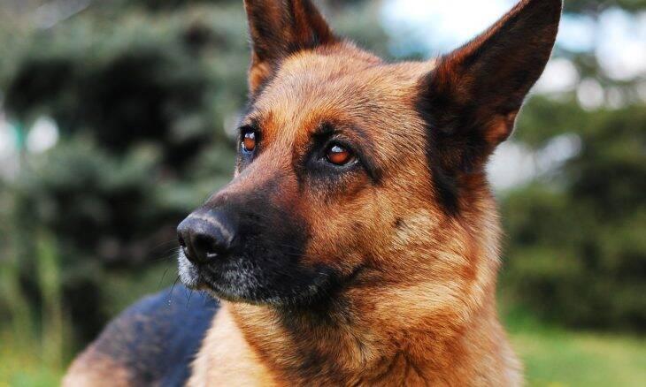 Confira as 10 raças de cães que melhor juntam inteligência e companhia