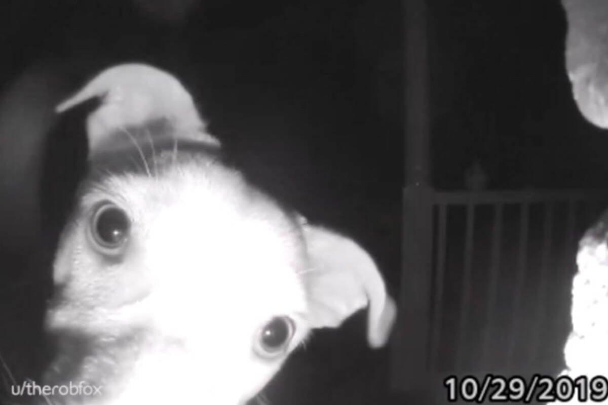 Donos esquecem cadela do lado de fora, e ela toca a campainha... às 2 da manhã!
