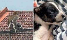 Macaco 'sequestra' filhote de cachorro, que é mantido refém por três dias