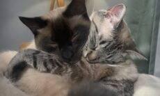 Vídeo fofo: gatos melhores amigos trocam abraços como se não houvesse amanhã