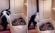 Vídeo: gato obeso aprende a abrir portas para fugir da dieta; dona coloca cadeado na geladeira
