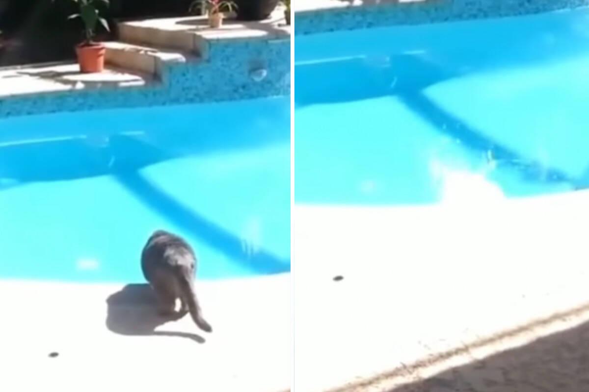 Vídeo: Dono cruel dá susto em gato que, desesperado, pula dentro da piscina