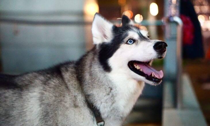 Ao transformar lobos em cães, humanos mudaram a estrutura do cérebro dos animais