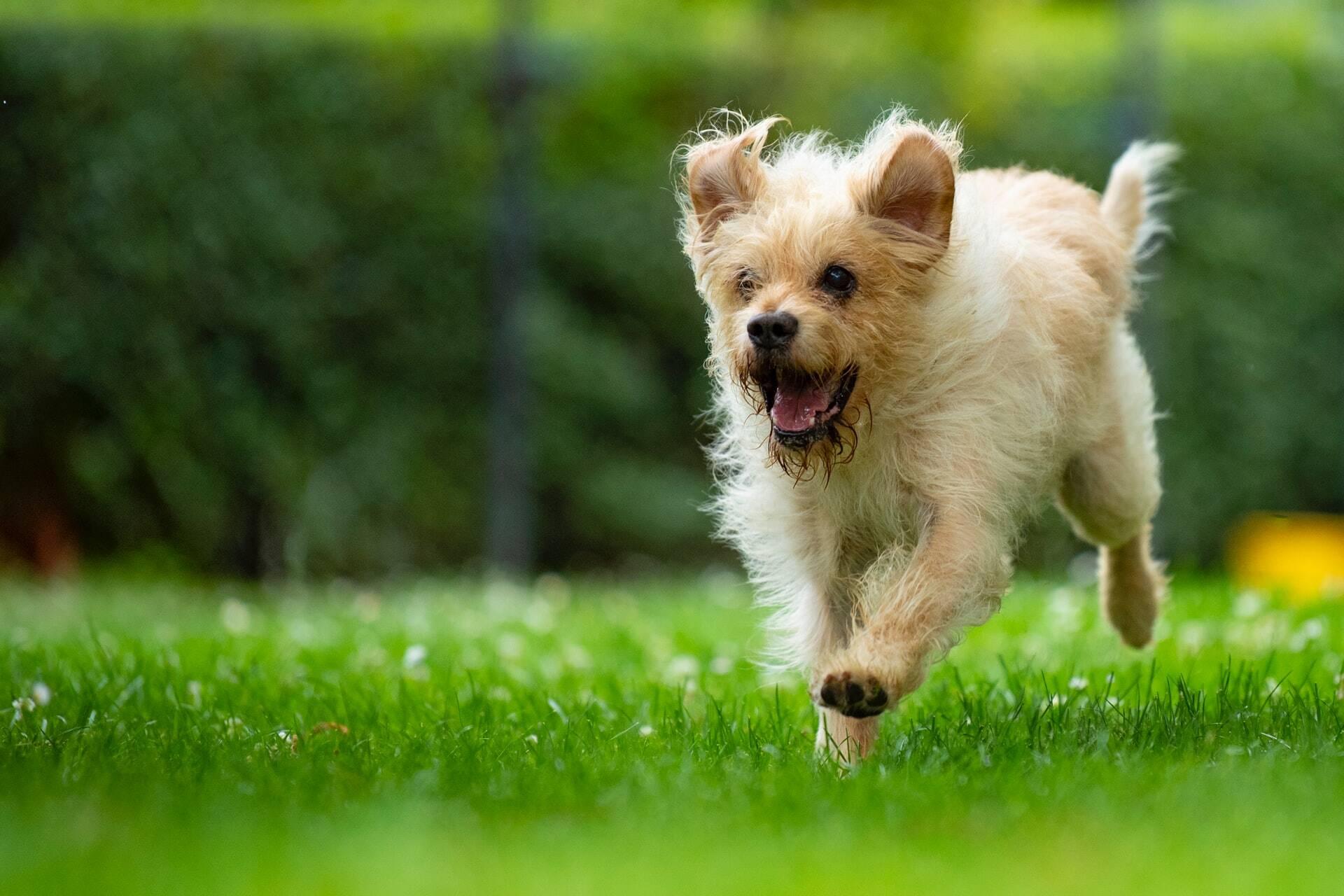 A verdadeira razão pela qual os cães amam tanto rolar na grama