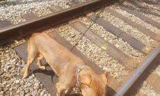 Casal salva cão que foi deixado para morrer amarrado em trilhos de trem