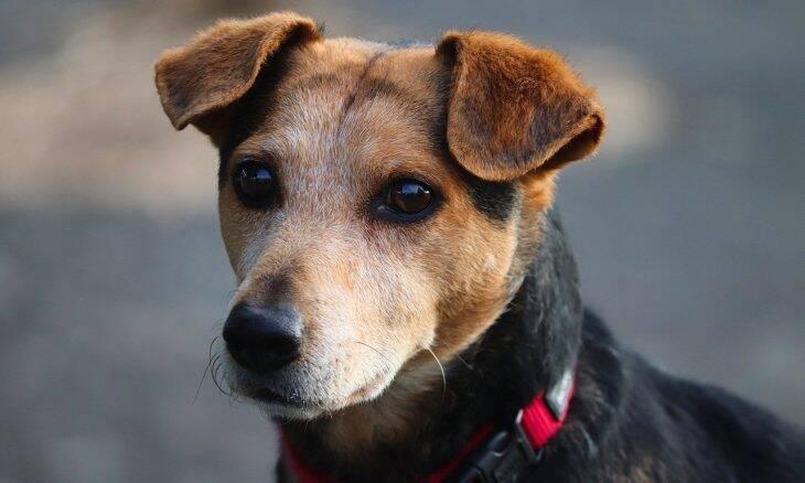 Cães comprados durante a pandemia são entregues a abrigos 'disfarçados' de vira-latas