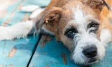 Seu cão mudou de comportamento ou anda esquecido? Pode ser a síndrome da disfunção cognitiva