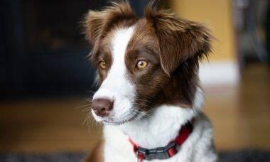 Cães da raça border collie mostram inteligência impressionante em estudo