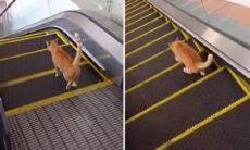 Vídeo hilário: gato teimoso entra em um duelo sem fim contra uma escada rolante