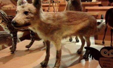 Lobo japonês extinto é o parente mais próximo dos cães atuais já encontrado
