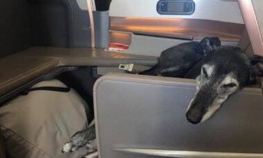 No dia do seu aniversário, cachorro ganha upgrade e viaja na classe executiva