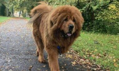 Cão raríssimo e com cara de leão é o mais caro do mundo