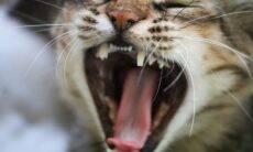 Por que gatos não rugem como leões e tigres? Estudo revela a razão