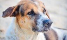Aumenta o número de casos de cães que ingerem maconha; e isso não é bom
