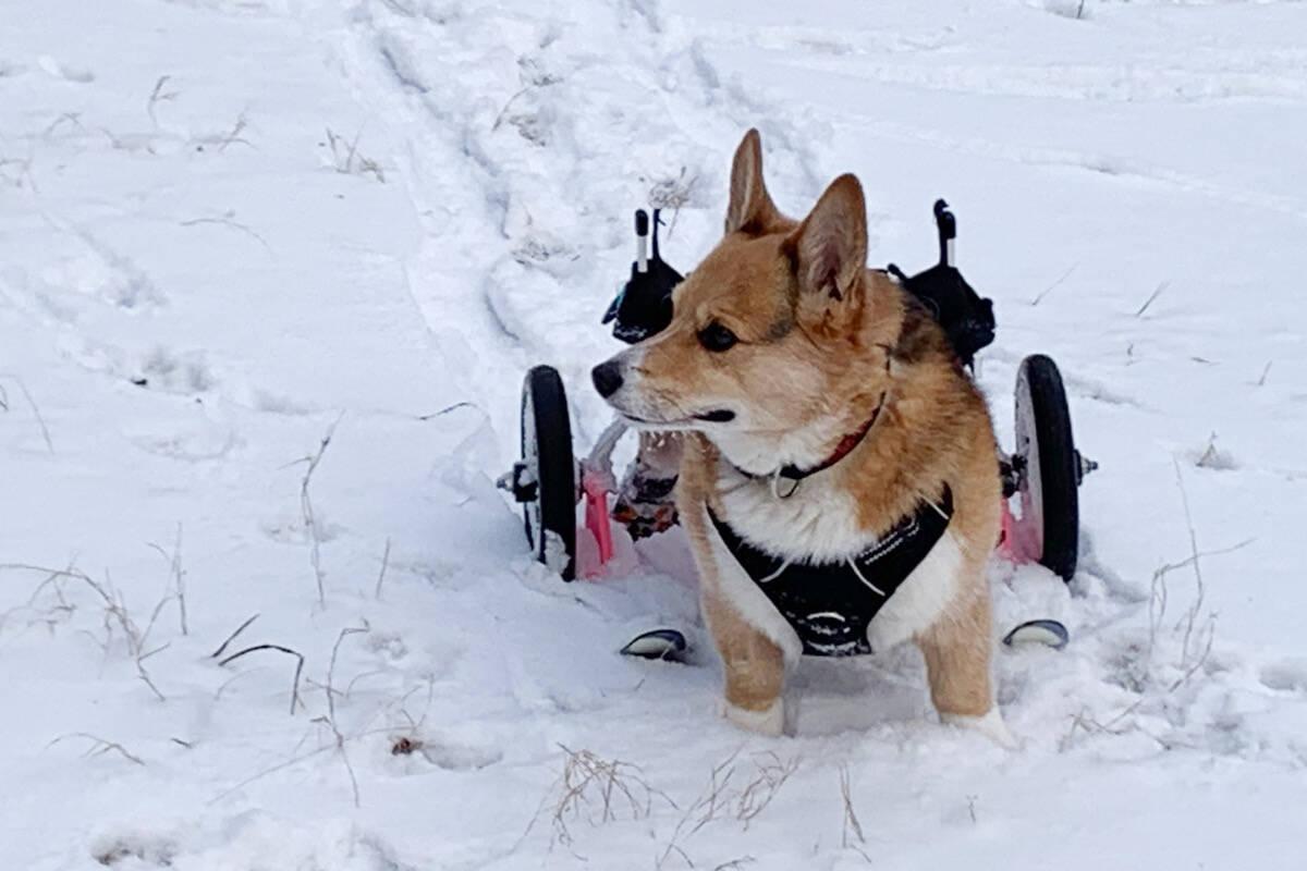 Engenheiro cria esquis para que seu cão deficiente caminhe e brinque na neve